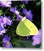A Clouded Sulphur On Lavender Mums Metal Print