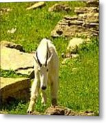 A Goat Coming Down The Trail Metal Print