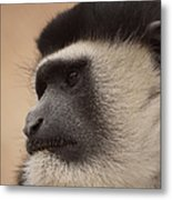 A Colobus Monkey Metal Print
