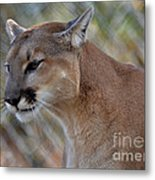 A Cougar In Deep Thought Metal Print