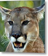 A Cougars Face Metal Print