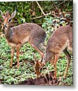 A Couple Of Dik-dik Antelopes In Tanzania. Africa Metal Print