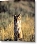 A Coyote Canis Latrans Stares Metal Print