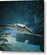 A Crownose Ray Rhinoptera Bonasus Metal Print