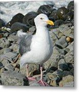 A Curious Seagull Metal Print
