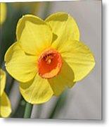 A Daffodil Hello Metal Print