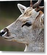 A Dear's Look Metal Print