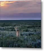 A Female Cheetah, Acinonyx Jubatus Metal Print