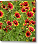 a field of Indian Blankets Metal Print