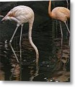 A Flamingo With Its Head Under Water In The Jurong Bird Park Metal Print