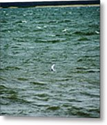 A Forster Tern Fighting The Winds Out At Sea Metal Print