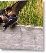A Fourth Baby Barn Swallow Wants In On Lunch Metal Print