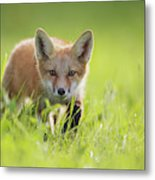 A Fox In The Grass  Montreal, Quebec Metal Print