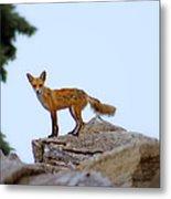 A Fox On The Rocks Metal Print