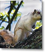 A Fox Squirrel Pauses Metal Print