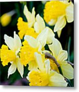 A Gathering Of Daffodils Metal Print