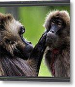 A Gentle Caress   Gelada Baboons Metal Print