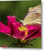 A Georgous Butterfly Macrophotography Metal Print
