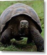 A Giant Tortoise Walks Along The Rim Metal Print