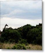 A Giraffe Giraffa Camelopardalis Among Metal Print