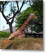 A Giraffe Rests In Honolulu Metal Print