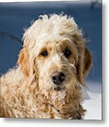 A Goldendoodle Lying In The Snow Bathed Metal Print