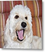 A Goldendoodle Lying On A Lawn Chair Metal Print