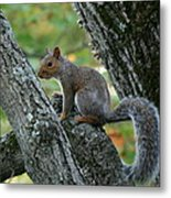 A Gray Squirrel Pose  Metal Print