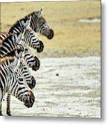A Grevys Zebra In Ngorongoro Crater Metal Print