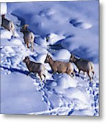 A Group Of Bighorn Sheep Ovis Metal Print