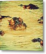 A Group Of Hippos In A River. Tanzania Metal Print