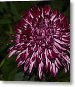 A Happy Birthday Wish With An Elegant Maroon And Pink Mum Metal Print