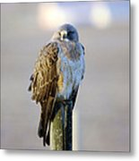 A Hawk On A Fence Post  Metal Print