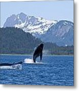 A Humpback Whale Calf Breaches As Its Metal Print