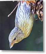 A Little Bird Eating Pine Cone Seeds  Metal Print by Jeff Swan