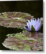 A Little Lavendar Water Lily Metal Print