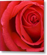 A Lovely Red Rose Metal Print