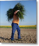 A Man Harvests Sedge To Be Used Metal Print