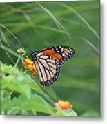 A Monarch Butterfly At Rest Metal Print
