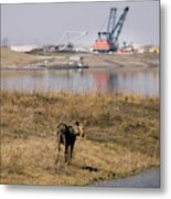 A Moose Walks On The On Reclaimed Land Metal Print