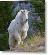 A Mountain Goat Stands On A Grassy Metal Print