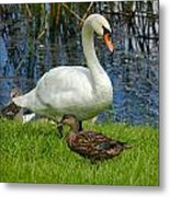 A Mute And Mallards Metal Print
