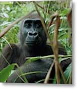 A Once Captive Gorilla Is Now Metal Print