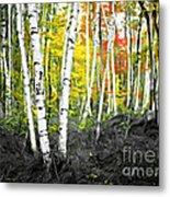 A Painting Autumn Birch Grove Metal Print
