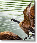 A Pair Of Canada Geese Landing On Rockland Lake Metal Print