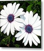 A Pair Of White African Daisies Metal Print