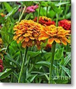 A Pair Of Yellow Zinnias 03 Metal Print