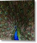 A Peacock's Feathers Metal Print