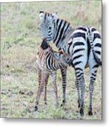 A Plains Zebra, Equus Quagga, Nursing Metal Print