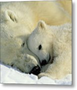 A Polar Bear And Her Cub Napping Metal Print